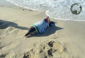Νάξος: Διασώθηκε νεαρό δελφίνι που βγήκε σε παραλία – video, pics