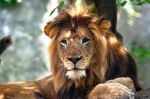 Άνδρας σκοτώθηκε από το λιοντάρι που… κρατούσε παράνομα σπίτι του