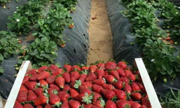 """Μανωλάδα: Στα """"μαλακά"""" οι κατηγορούμενοι για τις """"ματωμένες φράουλες"""""""