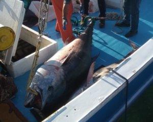 Νάξος: Έκαναν την ψαριά της ζωής τους – Οι τόνοι… γίγαντες που τράβηξαν τα βλέμματα [pics]