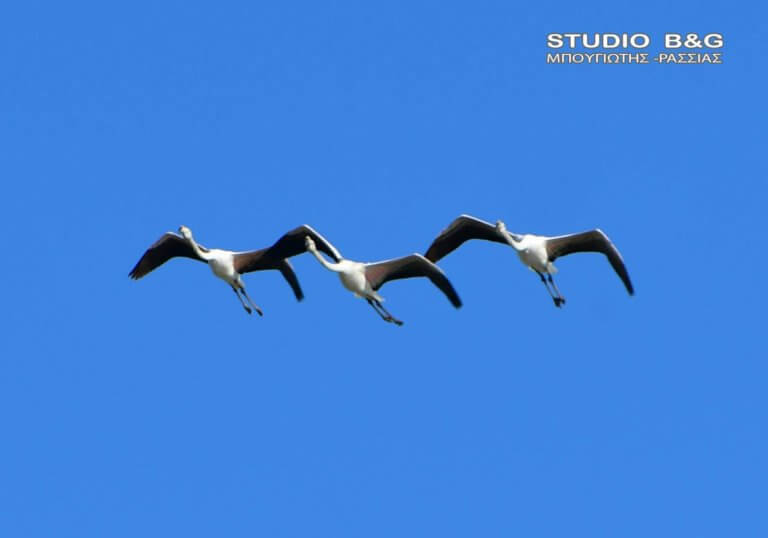 Ναύπλιο: Συγχρονισμένες πτήσεις φλαμίνγκο στον ουρανό – Οι εικόνες που κέντρισαν τα βλέμματα!