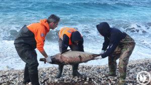 Εικόνες σοκ με τα νεκρά δελφίνια σε ακτές του Βορείου Αιγαίου