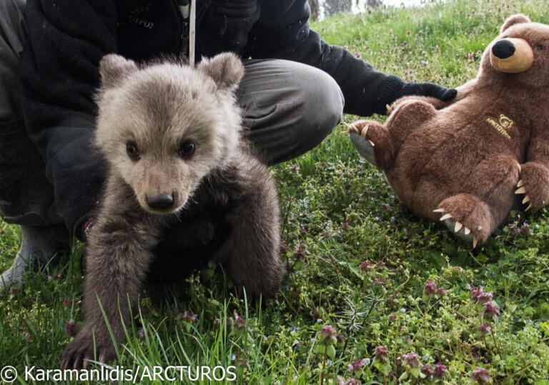 """Μπράντλεϊ και Κούπερ: Τα μόλις τριών μηνών ορφανά αρκουδάκια του """"Αρκτούρου"""" – video"""