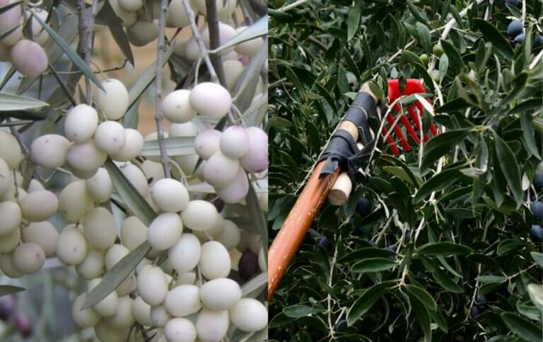 Λευκές ελιές: Μια σπάνια ποικιλία, με καταγωγή από τα αρχαία χρόνια