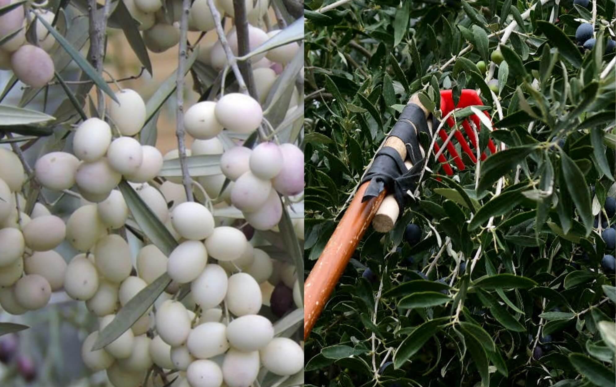 Λευκές ελιές, η σπάνια ποικιλία με καταγωγή από τα αρχαία χρόνια