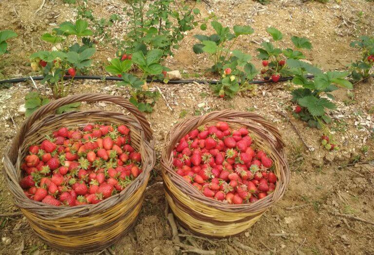 Τροφική επανάσταση: Βουνίσιες φράουλες χωρίς φυτοφάρμακα