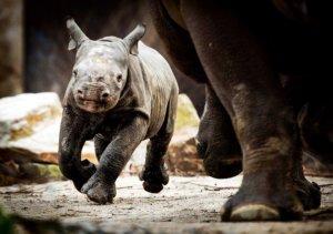 Ρινόκερος που χρονολογείται