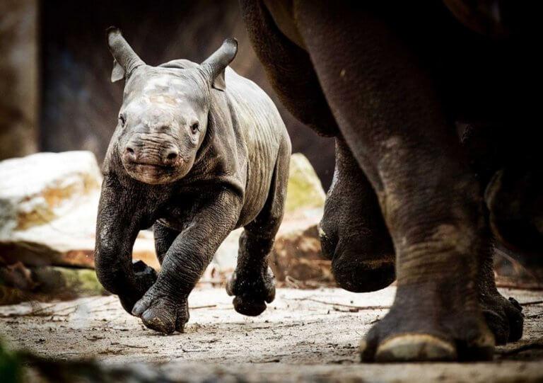 Ντα Τζουάνγκ: Ο ρινόκερος που έκλεψε τις καρδιές όλων!