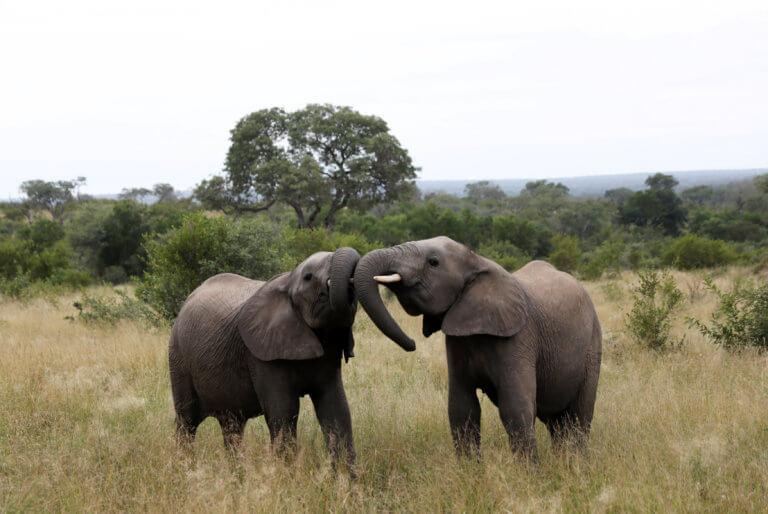 """""""Τίγκαρε"""" από ελέφαντες και πουλάει και στο εξωτερικό"""