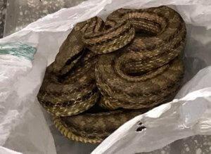 Θεσσαλονίκη: Χαμός σε εστιατόριο με αυτό το φίδι – Πάγωσε η υπάλληλος όταν πλησίασε το ψυγείο [pics]