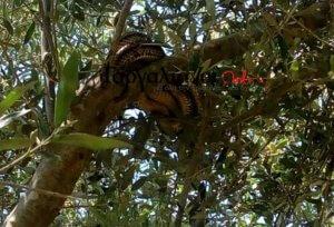 Είδε αυτό το φίδι τριών μέτρων πάνω από το κεφάλι του!