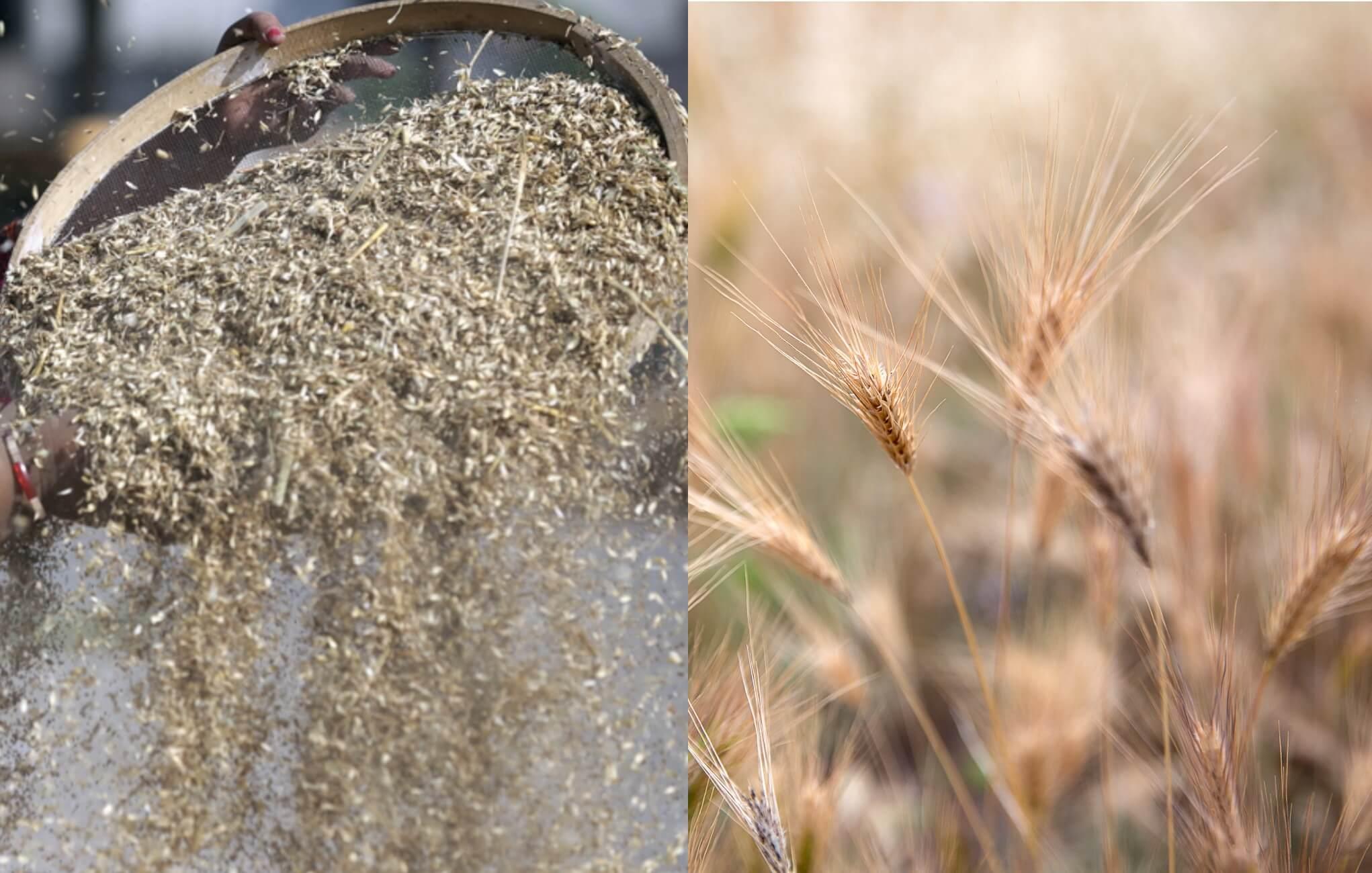 Μία σταγόνα ιστορία: Οι πολιτισμοί του σιταριού και του ρυζιού