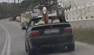 """Πάρος: Ο τεράστιος σκύλος """"κούφανε"""" τους πάντες – Λίγο έλειψε να πιάσει το τιμόνι [pics]"""