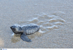 Χανιά: Μέτρα για την προστασία της θαλάσσιας χελώνας «Caretta-Caretta»!