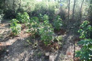 Μεσσηνία: Ακόμα… μετράνε! Εντοπίστηκε φυτεία χασίς με πάνω από 1.600 δενδρύλλια