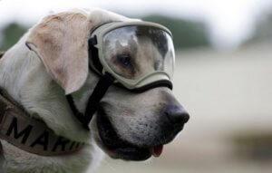 """Μεξικό: Βγήκε στη """"σύνταξη"""" η ηρωική σκυλίτσα διασώστρια του Πολεμικού Ναυτικού!"""