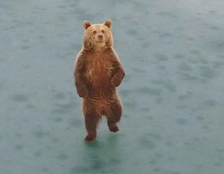 Καστοριά: Αυτή είναι η αρκούδα που διέλυσε αυτοκίνητο σε τροχαίο – Η μοναδική ιστορία της – video