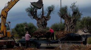 ΕΡΓΟΣΕ: Μεταφύτευση 60 ελαιοδένδρων στις πυρόπληκτες περιοχές της Αττικής