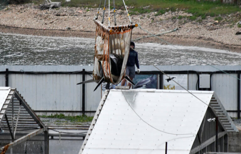Ρωσία: Οι όρκες και οι φάλαινες μπελούγκα που απελευθερώθηκαν διάνυσαν 140 χιλιόμετρα