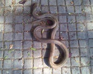 Βόλος: Αυτό είναι το φίδι που τους «έκοψε» τα γόνατα – Πανικός σε κεντρικό δρόμο [pics]