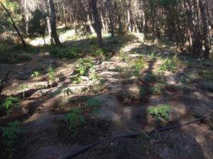 Φωκίδα: Χασισοκαλλιεργητές με καλάσνικοφ και χειροβομβίδες – Δύο συλλήψεις