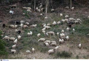 Φθιώτιδα: Νεκρό ολόκληρο κοπάδι πρόβατα – «Έσκασαν» από το φαΐ!