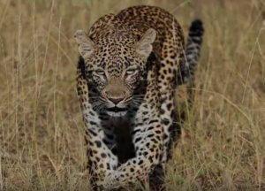 Νότια Αφρική: Λεοπάρδαλη σκότωσε ένα αγοράκι σε φυλασσόμενο πάρκο!