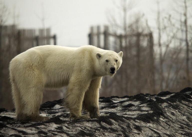 Εικόνες σοκ: Η κλιματική αλλαγή έφερε πολική αρκούδα σε πόλη στη Σιβηρία [video]