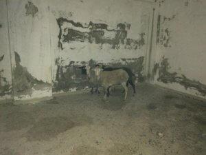 Αρρώστια! Φυλακίζει πρόβατα και τα βασανίζει μέχρι θανάτου – Σκληρές εικόνες!
