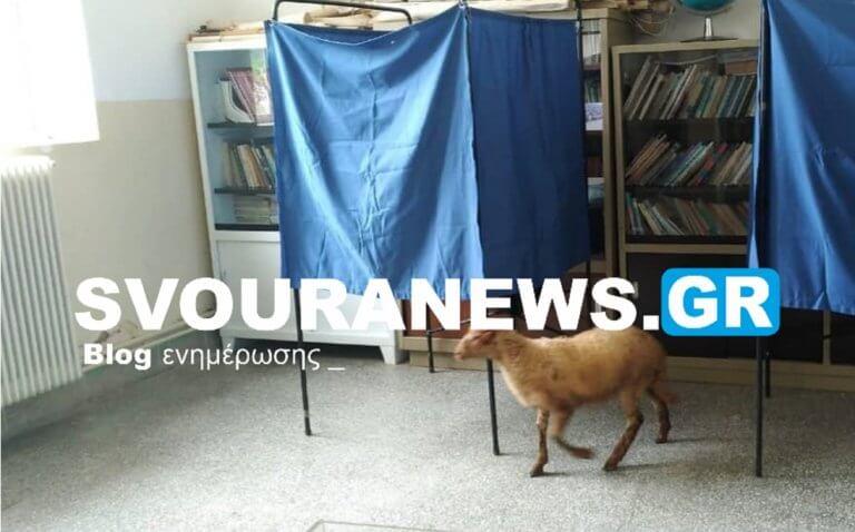 Καστοριά: Ποια αποχή; Ψήφισαν και τα… πρόβατα! [pic]