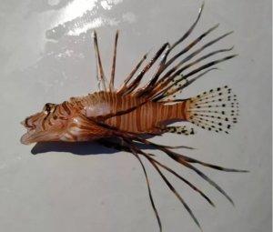 Σύρος: Το ψάρι που έπιασε έκρυβε κινδύνους – Κατάλαβε έγκαιρα πως δεν ήταν σκορπίνα όπως έδειχνε [pics]
