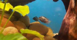 """Απίστευτο! Ο ερωτικός χωρισμός """"πληγώνει"""" και… τα ψάρια – Video"""