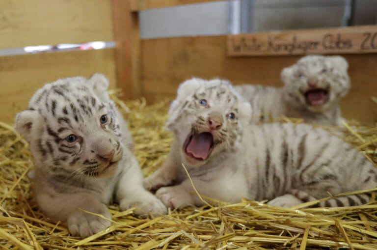 Τυνησία: Λαθρέμπορες προσπάθησαν να κλέψουν 4 σπάνιους λευκούς τίγρεις