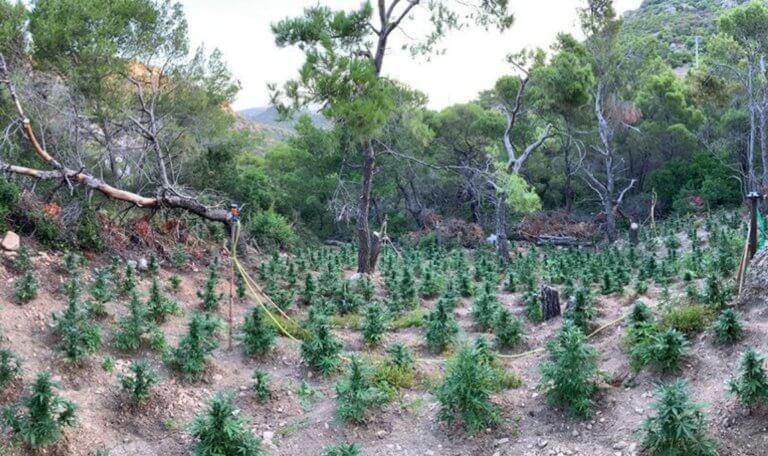 Ένα δάσος από… χασίς στο Πόρτο Ράφτη! Βρέθηκαν και ξεριζώθηκαν 690 δενδρύλλια