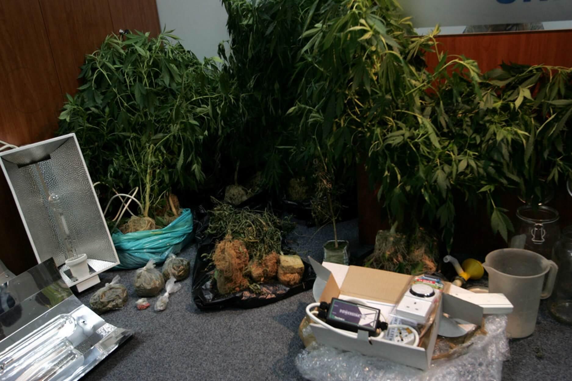 Βοιωτία: Μεγάλη επιχείρηση της Δίωξης Ναρκωτικών – Κατασχέθηκαν 12.800 δενδρύλια χασίς!