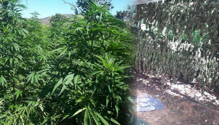 Φυτεία με 2.840 δενδρύλλια κάνναβης βρέθηκε στα Χανιά