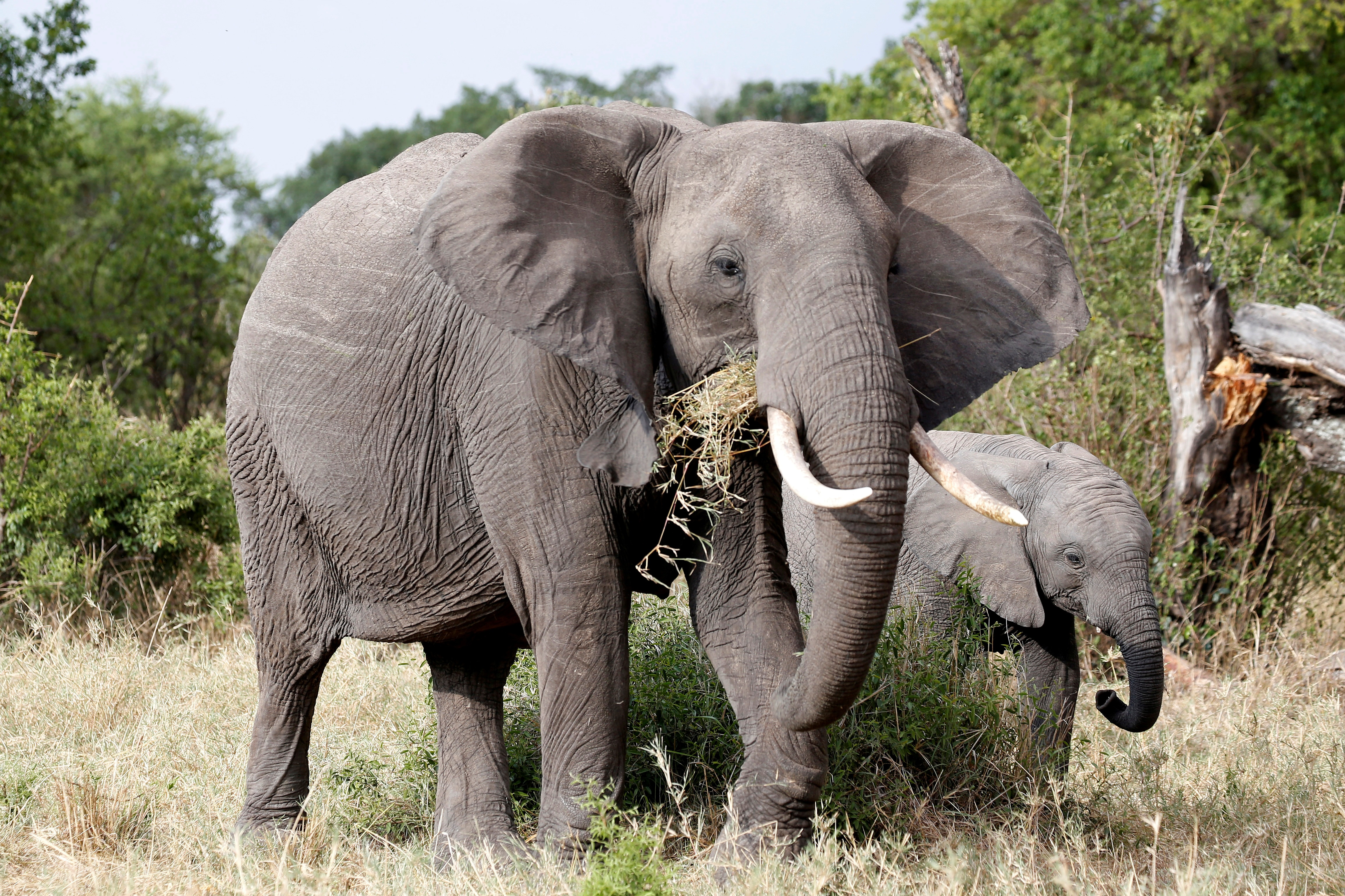 Πήραν 8,8 τόνους ελεφαντόδοντου από 300 αφρικανικούς ελέφαντες!