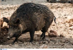 Φθιώτιδα: Νέο τροχαίο με αγριογούρουνα – Μπροστά η μάνα και πίσω τα 9 μικρά της!