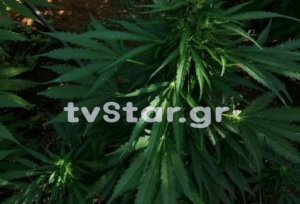 Καμένα Βούρλα: Βρέθηκε φυτεία με εκατοντάδες δενδρύλλια κάνναβης