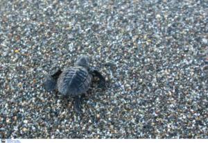 Μεθυσμένοι τουρίστες δεν άφηναν χελώνα να γεννήσει – video