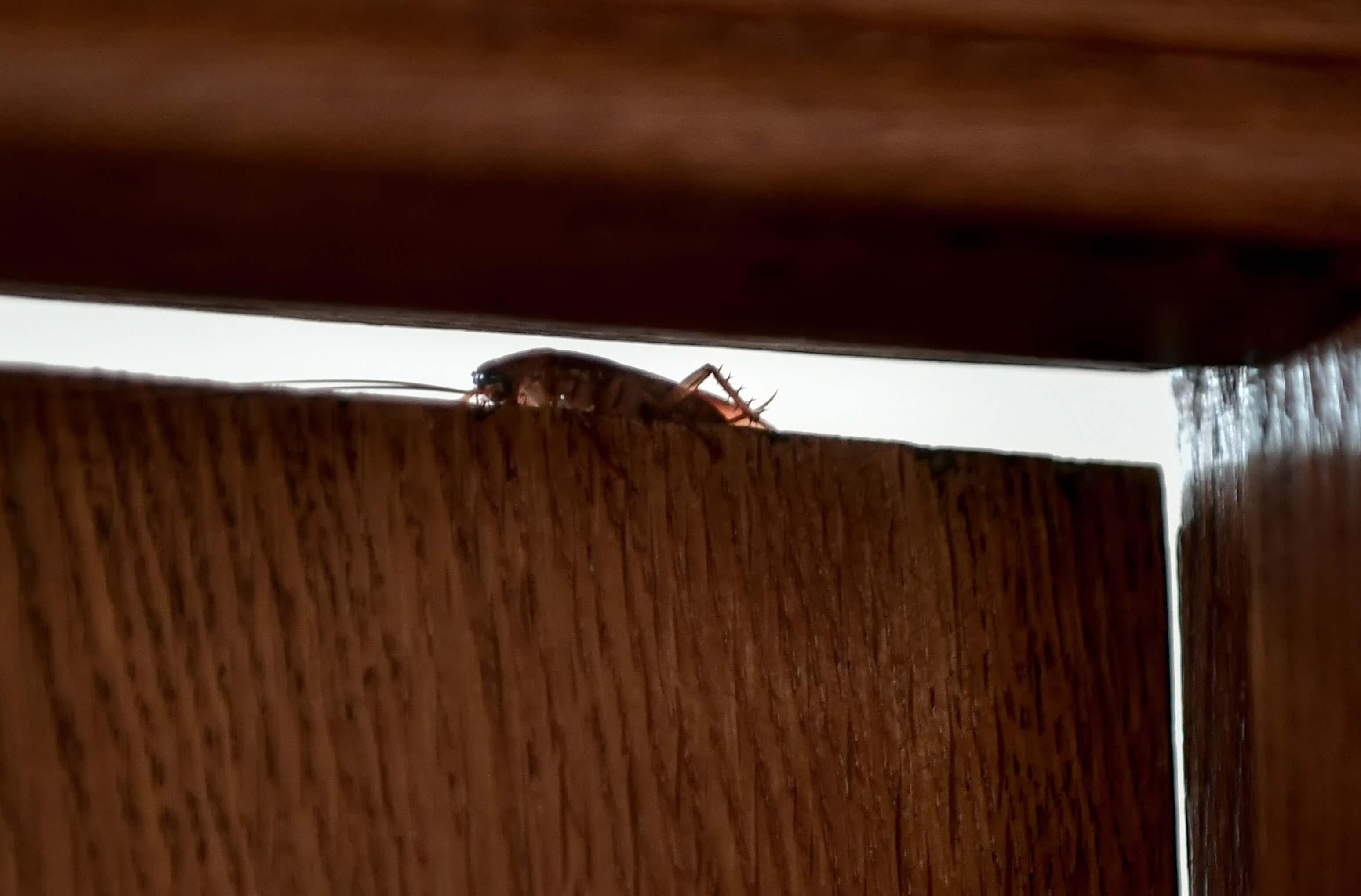 Λάρισα: Ασταμάτητες οι κατσαρίδες – Τρέχουν και δεν φτάνουν τα συνεργεία για απεντομώσεις!