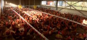 Βρετανία: Μποτιλιάρισμα σε αυτοκινητόδρομο από δεκάδες νεκρά κοτόπουλα!