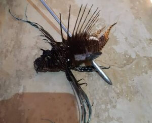 Αυτό το ψάρι είναι ο νέος τρόμος των ελληνικών θαλασσών