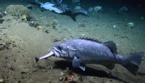 Δέος! Τεράστιος ροφός καταπίνει ολόκληρο καρχαρία! video
