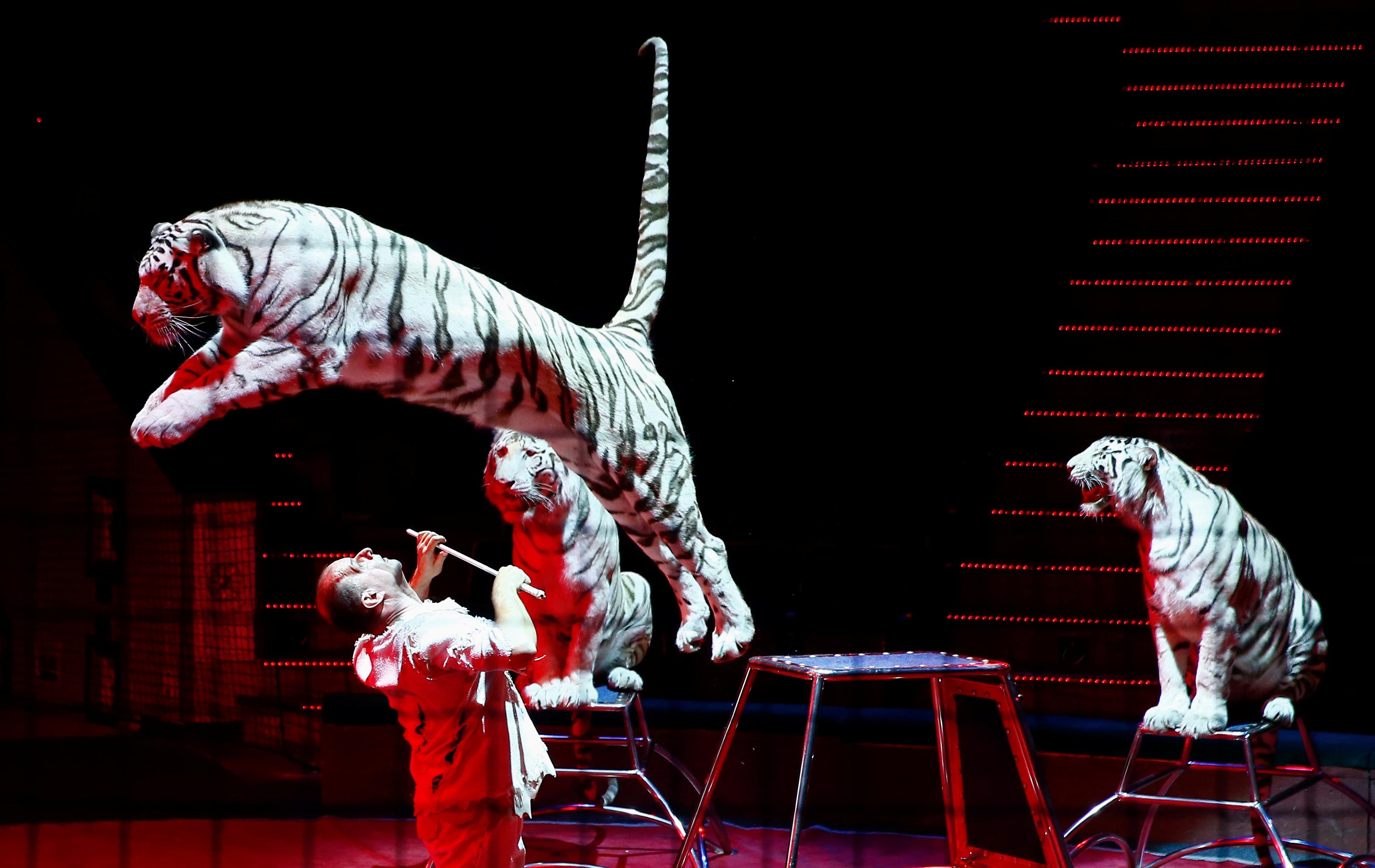 Ιταλία: Τίγρεις σε τσίρκο κατασπάραξαν τον θηριοδαμαστή τους