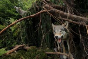 Πήλιο: Λύκοι στήνουν καρτέρι και «εξαφανίζουν» κοπάδια – Φοβούνται για τη ζωή τους οι κτηνοτρόφοι