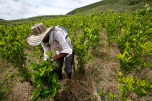 Θα… έκλαιγε ο Εσκομπάρ! Μειώθηκε η έκταση των καλλιεργειών κόκας στην Κολομβία