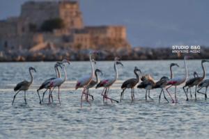 Γέμισε φλαμίνγκο το Ναύπλιο – Πανέμορφες εικόνες!