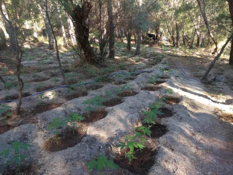 Χανιά: Σύλληψη 50χρονου που φέρεται ότι καλλιεργούσε 1.030 δενδρύλλια κάνναβης