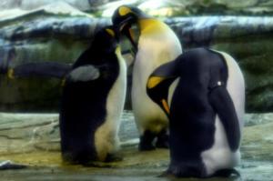Δύο ομοφυλόφιλοι πιγκουίνοι κλωσσούν ένα αυγό! video